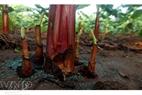 红蕉树根。