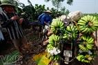 Les marchands hanoïens sont venus acheter des bananes.