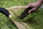 做扁米的谷子。陈清江  摄