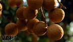 Hung Yen longan fruit is very tasty with a thick, succulent pulp and small seed.