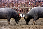 Two fighting buffaloes are on the defensive.