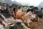 Nhờ có loại lưỡi cày đặc biệt này mà người Mông có thể canh tác, trồng trọt được trên vùng cao nguyên đá Đồng Văn.
