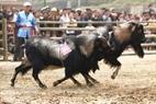 2匹のヤギは相手への突込みではなく、むしろ追いかけっこに転じた。