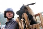 試合後、ナム・ジクコミューンでのタイ族のホアン•ヴァン•ロム氏は自分の負けたヤギを家へ連れて帰って、丁寧に世話をして生計の目的で続けて飼育する。