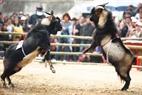 2匹のヤギは立って戦いの準備をしていた。
