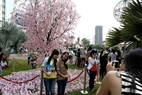 Park 23/9 in Ho Chi Minh City is awash with colourful cherry blossoms.