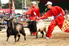 When a goat gives up the competition, the umpires prevent the winner from attacking.
