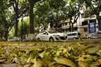 On the pavement, the colour of Sau leaves are like sunlight in the early morning. Photo: Cong Dat