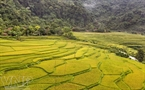 Terraced fields in Huou Hamlet in Phu Luong during harvest. Photo: Thong Thien.