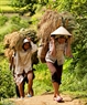 Due to the terrain being separated by ranges of low mountains, the local people must carry rice to their hamlets. Photo: Viet Cuong