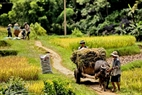 Transporting rice to the hamlets using buffaloes and cows in flat terrains. Photo: Viet Cuong