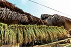 Drying rice. Photo: Thong Thien