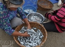 Fresh herring are sold for 15,000VND/kg.