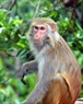 The species of monkey raised on the island belongs to the Southeast Asia Rhesus Monkey with light yellow hair, red anus, short tail and grey hair on its chest.