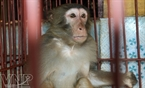 A monkey is kept in a cage to produce serum.