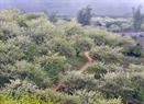 Hoa mận nở trắng thung lũng Mộc Châu.