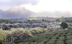 Những cây mận mọc xen kẽ giữa cánh đồng chè và len vào những bản làng.