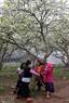 Children joyfully play together under plum trees.