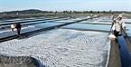 Diêm dân sản xuất trên cánh đồng muối Sa Huỳnh khoảng 8.500 tấn muối vào vụ mùa chính từ tháng 3 đến tháng 7 hàng năm.