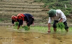 The Dao ethnic people transplant rice seedlings on the terraced fields.