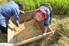 Hai bố con anh Khang A Pạo và Khang Thị Lỳ (xã Chế Cu Nha) đập lúa mới gặt ngay tại ruộng rồi đem về nhà phơi.