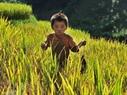 Chú bé người Mông tranh thủ theo chân bố mẹ lên ruộng tìm bắt những con cá suối trên đám ruộng đang thu hoạch của gia đình.