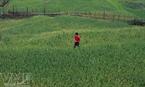 Một chủ ruộng người dân tộc Mông đi kiểm tra lúa trên đám ruộng sắp thu hoạch của gia đình.