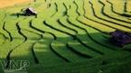 Sóng lúa uốn lượn trên những đám ruộng bậc thang chuẩn bị thu hoạch ở xã Chế Cu Nha (Mù Cang Chải).
