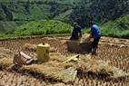 Do địa hình khó khăn nên việc thu hoạch lúa bằng cách đập lúa thủ công vẫn là phương pháp chính của đồng bào Mông ở nơi đây.