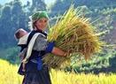Theo chị Hờ Thị Dê (bản Dề Thàng, xã Chế Cu Nha), lúa gặt xong sẽ được phơi tại ruộng khoảng 3 ngày cho khô rồi đập lấy hạt, đóng bao mang về.