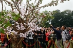 Hanoians take photos near cherry blossoms branches that were brought from Japan.