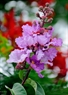 Crape myrtles produce purple flowers in panicles of 20-40cm length