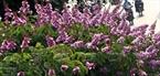 盛开的一簇簇紫薇。