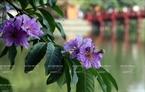 The gentle purple of crape myrtle flowers next Sword Lake.