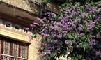 Purple crape myrtle flowers next to an ancient building in the old quarter of Hanoi.