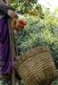 Harvesting ripe rambutans.