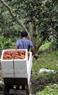 Фермер транспортируeт плоды рамбутана в садy
