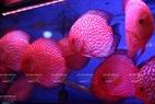 Le poisson đĩa (nom scientifique Symphysodon) dont la tête d'argent est acheté par nombre de personnes. Photo: Trinh Bô