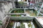 Les habitants du village Yên Phu  investissent dans l'élevage de poissons d'aquarium pour satifsfaire la demande des collectionneurs de Hanoi. Photo: Khanh Long