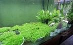 Les algues sont disposées dans l'aquarium selon le règlement de la géomancie. Photo: Khanh Long