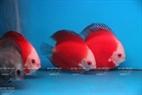 Le poisson đĩa (nom scientifique Symphysodon)dont la tête d'argent est le choix de nombre de collectionneurs de poissons d'aquarium. Photo: Khanh Long