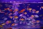Le poisson Platy (Xiphophorus Maculatus), un petit poisson vit en groupe et  a de belles couleurs. Photo: Khanh Long