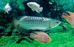 Les poissons osteoglossiformes, (du latin «langues osseuses») sont une espèce coûteuse et sont  le symbole de la chance et de la prospérité. Photo: Trinh Bô