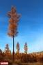 Красные сосны c листвой золотого цвета в конце осени в Кызылe. Фото: Чан Хьеу