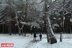 Студенты идут в школу через сосновый лес, покрытый снегом.
