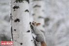 Một chú sóc tìm kiếm thức ăn mang về tổ trên một cây bạch dương.
