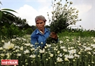 Nhat Tan villagers harvest daisies in the early morning to deliver to markets. Photo: Cong Dat