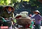 After harvest, daisies are tied into bunches to be sold on streets. Photo: Cong Dat