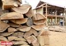 Generalmente, para construir nuevas casas sobre pilares, los Thai de la comunidad de Tan Lap, Moc Chau, Son La guardan maderas desde muchos años antes. Se utilizan diferentes tipos de maderas preciosas, como palo fierro, sen (Madhuca pasquieri H. J. Lam) y otras, obtenidas del bosque bajo la ley forestal vigente del Estado. Foto: Thong Thien