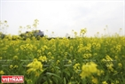 In late December, yellow mustard fields near the Thanh Tri Bridge have a lot of visitors. Photo: Khanh Long/VNP